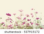 soft focus colorful cosmos... | Shutterstock . vector #537915172