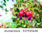 Beautiful Fuchsia Flowers In...