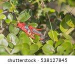 Mating Red Toxic Milkweed...