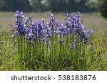 Iris Sibirica  Siberian Iris O...