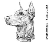 hand drawn sketch of doberman... | Shutterstock .eps vector #538192255
