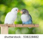Blue And White Lovebird Talkin...