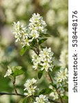 Small photo of Blooms Irga (lat. Amelanchier)