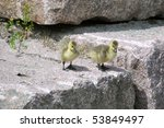 Two goslings on a rock - stock photo