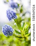 Small photo of flowering blue california lilac (ceanothus) close up