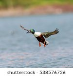 the northern shoveler  or... | Shutterstock . vector #538576726