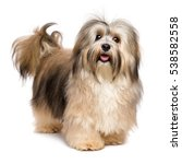 Stock photo beautiful happy young bichon havanese dog is standing and looking at camera isolated on white 538582558