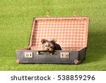 Beautiful Puppy Yorkshire...