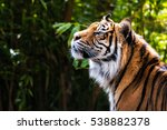 tiger picking up a scent | Shutterstock . vector #538882378