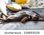 Stock photo cute brown dachshund on the bed 538893028