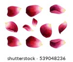 Stock photo set of bright rose petals watercolor botanical illustration isolated on white background 539048236