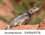 chuckwalla  | Shutterstock . vector #539069578