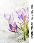 Purple Crocuses In The Snow