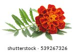One Flower Marigold Isolated O...