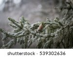 Spruce Tree Branch With Cone...