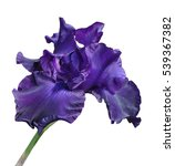 Iris Flower Isolate On White...