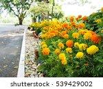 blooming of marigold flowers in ... | Shutterstock . vector #539429002