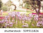 Small photo of violet whiskers flower