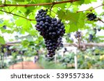 Ripe Grapes Hanging On Tree.