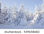 Snow Covered Spruces. Winter...