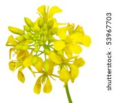 Close Up Of Rapeseed Flowers...