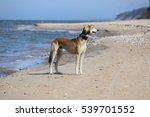 saluki on a beach | Shutterstock . vector #539701552