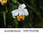 Orchid Blossoms In The...