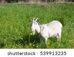 Goat Standing In The Grass