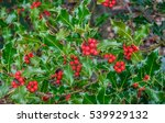 Holly Tree Closeup With Lots O...