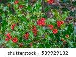 Holly Tree Closeup With Lots O...
