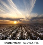 Cotton Field In Lubbock  Texas