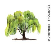 Green Tree Willow Isolated On...