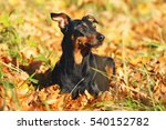 Small photo of Black and tan German Pinscher dog lying outdoors around fallen autumn leaves
