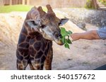 Giraffes Being Feed By A Man...