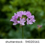 Small photo of Allium unifolium