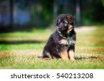 the puppy of a german shepherd... | Shutterstock . vector #540213208