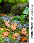 autumn wet maple leaf falling... | Shutterstock . vector #540220012