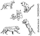 Tigers. A Sketch By Hand....