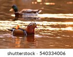 Small photo of A colourful male mandarin duck. (Aix galericulata)