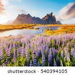 majestic lupine flowers glowing ... | Shutterstock . vector #540394105