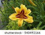 Close Up Portrait Of A Daylily...