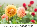 beautiful chrysanthemums flower ...   Shutterstock . vector #540492658