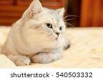 Beautiful Cat British Shorthai...