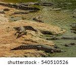 Freshwater Crocodiles On River...