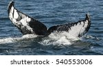 humpback whale   Shutterstock . vector #540553006