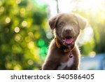 Stock photo brown nova scotia duck tolling retriever puppy dog in the yard against bokeh background and sunset 540586405