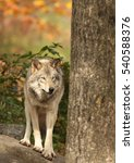 Small photo of Alpha male wolf in autumn
