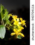Small photo of Currant flowers of a Ribes aureum kind on the dark background