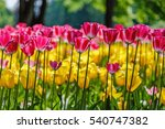 blooming tulips in the spring... | Shutterstock . vector #540747382
