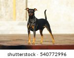 Small photo of Black and tan German Pinscher dog with natural droopy ears staying outdoors at sunny weather